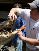 Big South Carolina Alligator