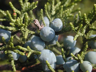 Wildlife Management: Cedar with berries