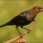 Funding to Pay for Cowbird Trapping