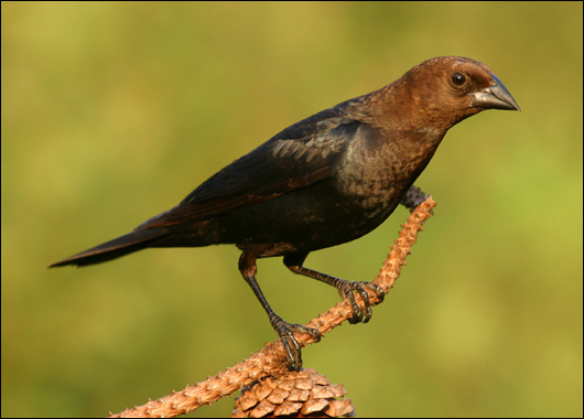 Brown-headed cowbirds are nest parasites