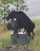 Moose and a buffalo statue?