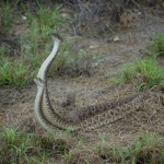 Photos of Rattlesnakes Mating!