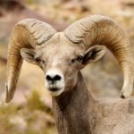 Big Horn Sheep Habitat Preservation Rewarded