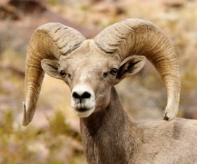 Texas Bighorn Sheep