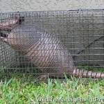 Trapping Armadillo – How do You Trap An Armadillo?