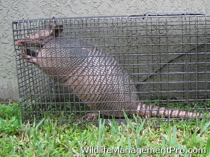 How do you trap and armadillo?