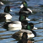 Scaup rest at a coastal wetland