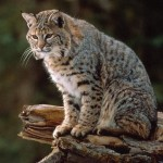 Bobcat Facts and Pictures