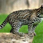 All About the Ocelot