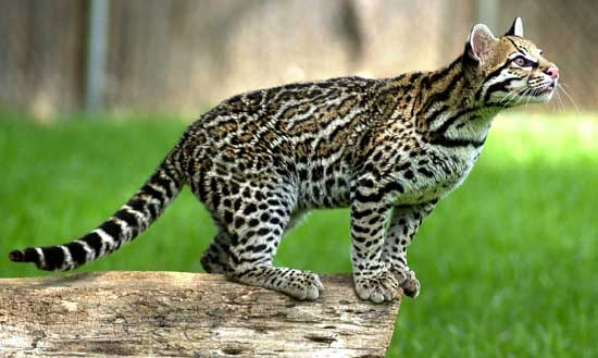Learn to identify the ocelot from this photo