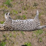 Ocelot Hit By Car in Palo Pinto, Texas