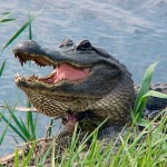 Texas Game Warden Injured by Alligator