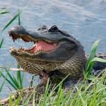 Texas Game Warden Injured by Alligator