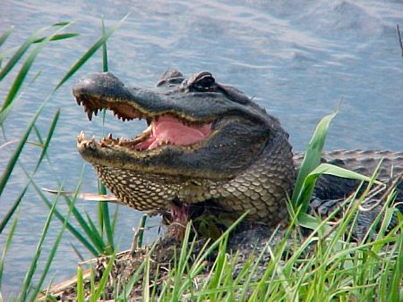 How many alligators are in Texas?