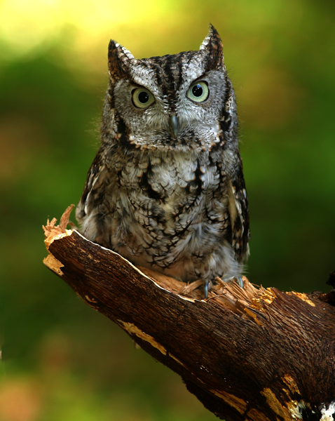 Will you see a screech owl at conservation camp?