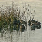 Pond Management for Waterfowl