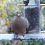 Mourning Dove Diseases: Trichomoniasis