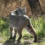Bobcat Photo