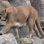 Mountain Lion in Frisco, Texas