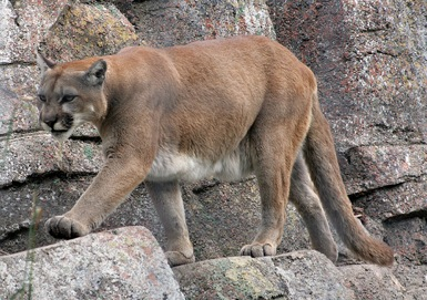 Mountain Lion in Frisco, Texas?