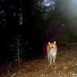 Mountain Lions and Deer Kills – Predators of Whitetail