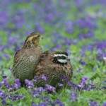 Control Exotic Grasses for Better Habitat