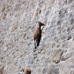 Ibex Goats Climbing Near the Italian Alps