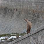 Ibex Goats Climbing the Diga del Ingino Dam in Italy