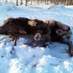 Giant Record Elk Found Stuck in Mud in Minnesota