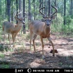 Wildlife Management: Distance Surveys for Whitetail Deer