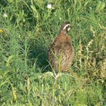 Quail Habitat Management: Covey Headquarters