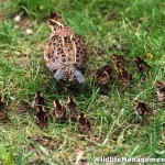 Management for Quail – Texas Field Day