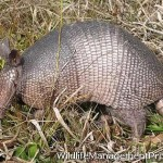 Do Armadillos Carry Leprosy?