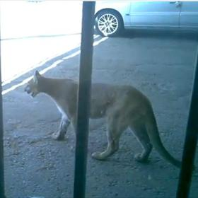 Mountain Lion in El Paso
