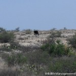 Wildlife Management: Black Bears in Texas