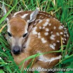 Abandoned Fawn: What Should I Do?
