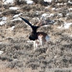 Golden Eagle Kills Pronghorn