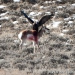 Golden Eagle Attacks and Kills Pronghorn Antelope