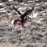 Golden Eagle Attacks and Kills Pronghorn Antelope