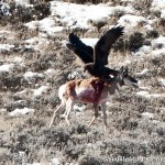 Eagle Attacks Antelope