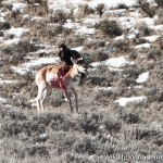 Eagle Attacks Antelope