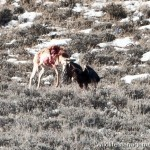 Golden Eagle Attacks Antelope in Wyoming