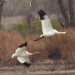 Whooping Cranes at Granger Lake