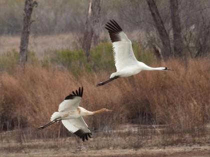 Whooping Cranes at Granger Lake