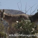 Burro Control in Texas for Habitat Management