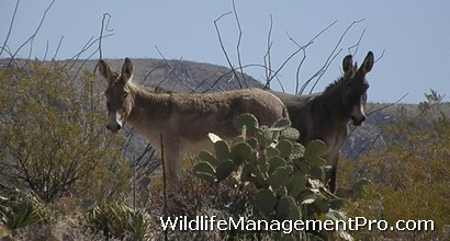 Burro Control at Big Bend Ranch State Park, Texas - Habitat Management Issue