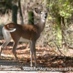 Deer Management: Suburbs are Food Plots for Deer