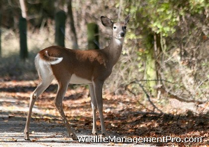 Control Urban Deer Overpopulation - Whitetail Deer Management