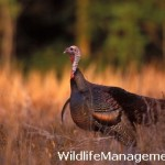 Turkey Management: Turkey Habitat Super Fund Proposal Projects