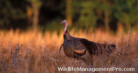 Turkey Hunting Season Close in East Texas
